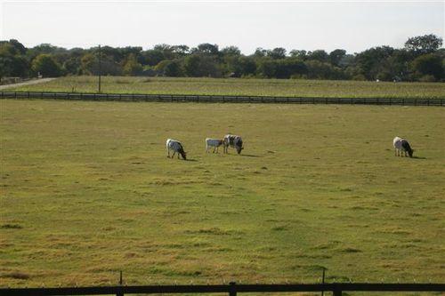 Real Texas Longhorns!